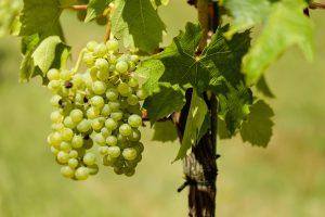 grapes-1611089